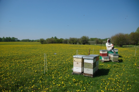 Where Dandelion Honey Comes From